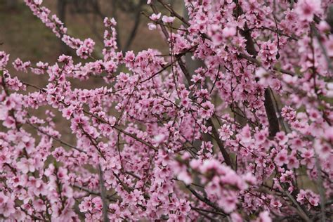 wallpaper bunga peach 8 photos bunga bunga peach pear hijau berkembang mekar
