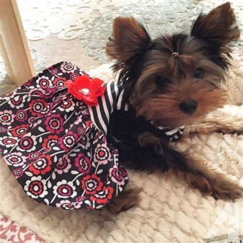 yorkie puppies size teacup size yorkie puppies for sale in perris california classified