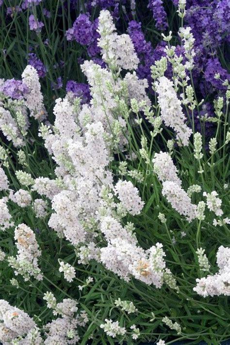 25 great ideas about lavandula angustifolia on pinterest lavandula angustifolia munstead