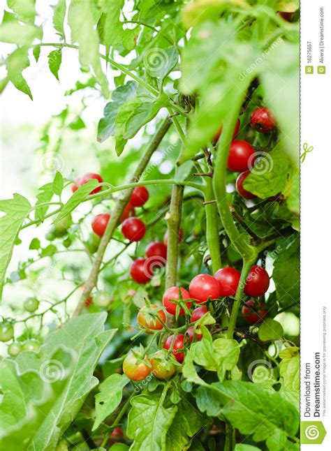 garden variety the american tomato from corporate to heirloom arts and traditions of the table perspectives on culinary history books cherry tomatoes in garden royalty free stock photography