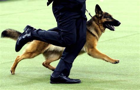 rumor the rumor the german shepherd wins best in show at westminster