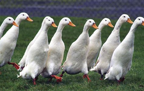 duck breeds best duck breeds to keep in the garden the field