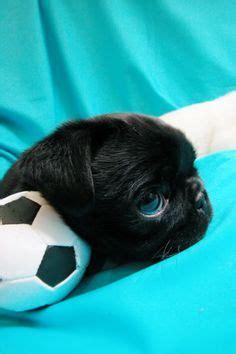 why do pugs big puggs on pugs black pug and baby pugs