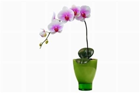 orchidee phalaenopsis orchidee come coltivare le