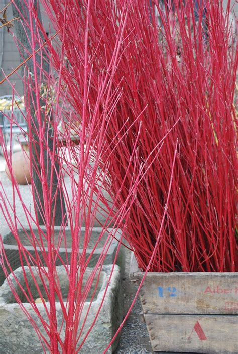 red twig dogwood garden pinterest