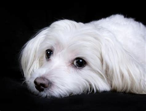 when do havanese dogs stop growing when do maltese puppies stop growing care daily puppy