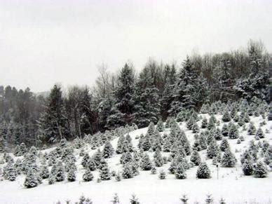 holmes hollow christmas tree farm victor new york s