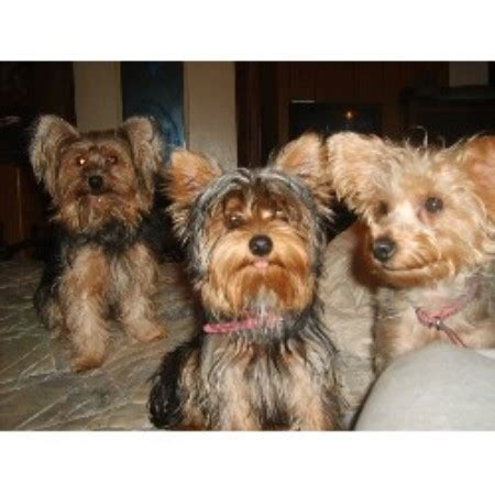 yorkie breeders in tn royal legend s yorkies terrier breeder in murfreesboro tennessee listing