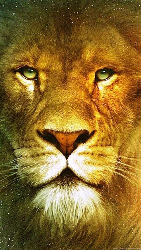 beautiful lions wallpapers desktop background