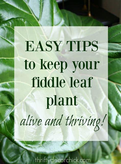 kill  fiddle leaf plant yellow brown