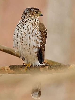 cooper s hawk identification all about birds cornell