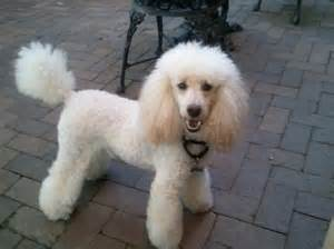Miniature Poodle Poodle Breed Guide Learn About The Poodle