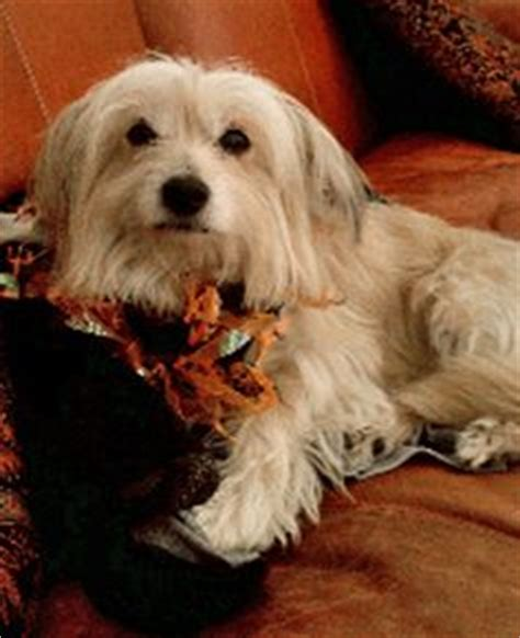 havanese washington state jax in ny available for adoption from havanese rescue november 2013 http www