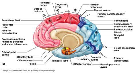 motor association area cerebral cortex function connections sensory motor
