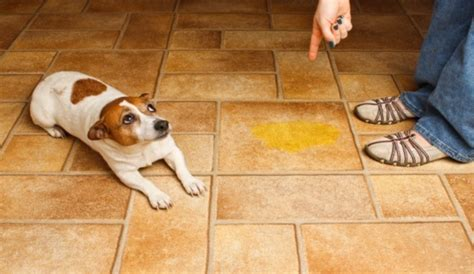 dog urinates in house is your trained dog peeing in house the bottom line is herepup