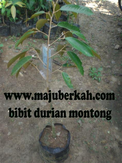 Bibit Cengkeh Sambung bibit durian montong bibit tanaman durian montong jual