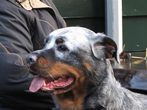 rottweiler with vitiligo pin by gail walters on puppy