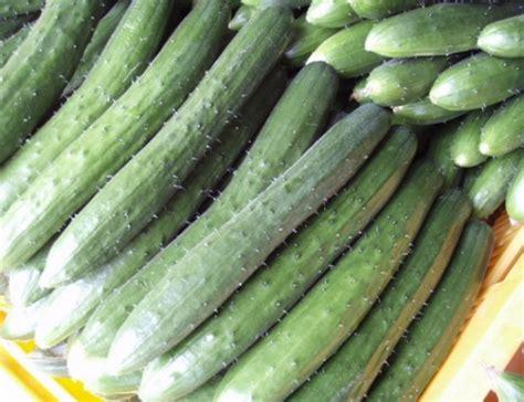 Timun Jepang cara menanam timun jepang bibitbunga