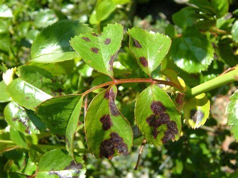Types Of Garden Fungus - common plant diseases types of plant diseases hgtv