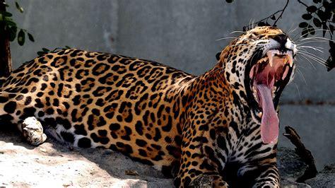 jaguar and cat jaguar vs tiger big cats at the zoo 4k st louis zoo