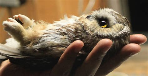saw whet owl banding leslie abram photography