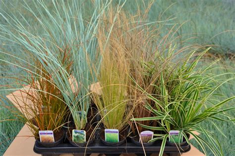 mail order special offers alpines grasses lightweight troughs herbs lavender
