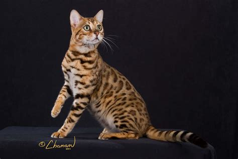 by cat cheetoh cat wallpapers hd
