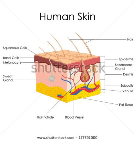 longitudinal section of skin epidermis stock photos images pictures shutterstock