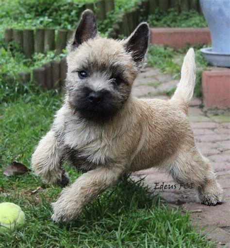 cairn terrier puppy terrier puppies cairn terriers and babies on