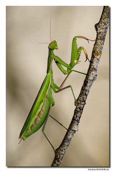 preying mantis tattoo praying mantis anatomy inside the entomology
