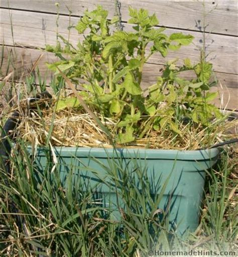 container potato gardening how to grow potatoes by container gardening sprouted