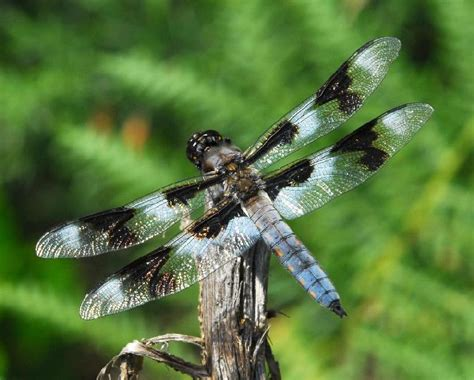 dragonfly bandon oregon by airlee owens