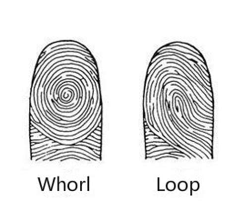 fingerprint pattern meaning what is the meaning of whorl driverlayer search engine
