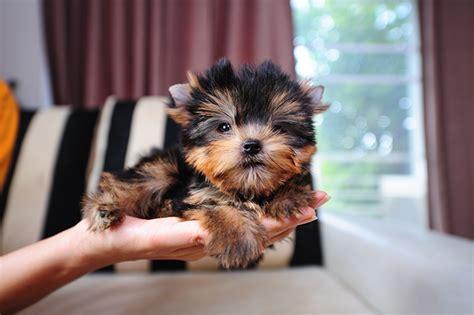 yorkie prices teacup yorkie for sale with price and links for adoption