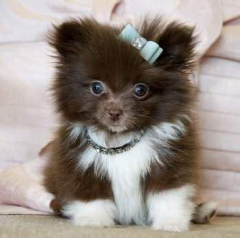pomeranian puppies for sale in ireland my teacup pomeranian puppies tiny teacup pomeranian puppies for