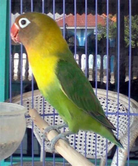 jagung muda untuk lovebird jawara ala h bagus tebet jakarta klub burung