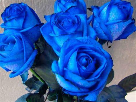 imagenes de rosas naturales hermosas rosas azules naturales imagenes de rosas