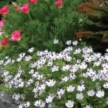 Bibit Benih Seeds Bunga Five Spot Flower Nemophila Maculat T2909 benih selada tom thumb 50 biji non retail bibitbunga