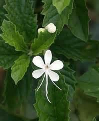 Teh Daun Frambozen khasiat tumbuhan herbal khasiat kembang bugang