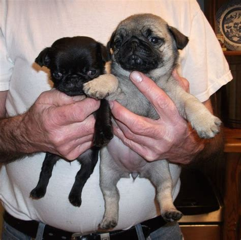 micro teacup pug 25 best ideas about teacup pug on baby pugs baby pugs and baby dogs