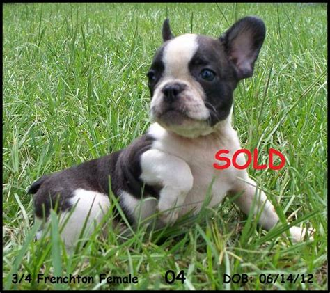 frenchton puppies for sale in alabama bulldog for sale tubezzz photos