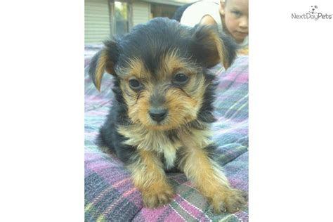 yorkie poodle for sale yorkiepoo yorkie poo for sale for 250 near southeast missouri missouri d067fb62 5041