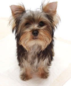 yorkie chow puppies 17 best images about getting a on for dogs chow chow and miniature