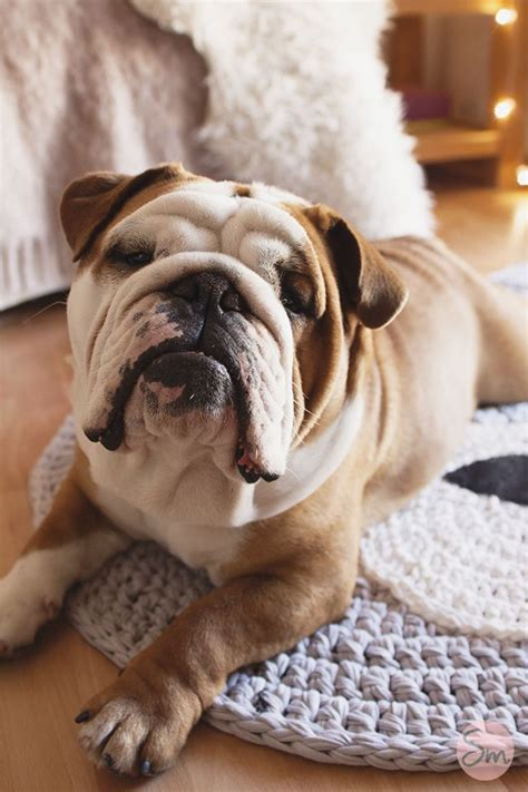 imagenes graciosas bulldog ingles 17 mejores ideas sobre cachorros de bulldog ingl 233 s en