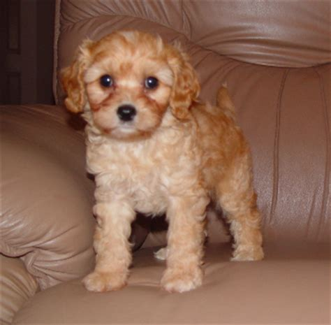 cavapoo puppies illinois cavapoo puppies illinois
