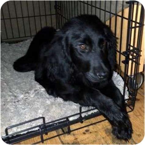 setter lab mix dog ariel adopted puppy litchfield ct english setter