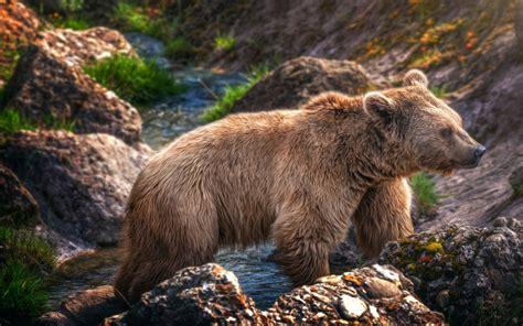brown bear mountain river rock hd wallpaper wallpaperscom