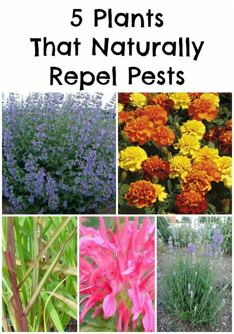 list of pest repelling plants