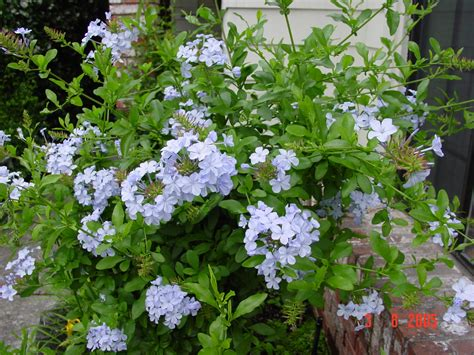 evergreen shrubs with blue flowers weekend gardener potted plants for sale