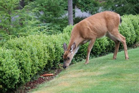 What Can I Feed Deer In Backyard by How To Keep Deer Out Of Your Garden Stop Feeding Them